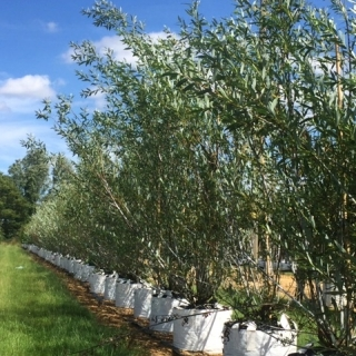 Salix daphnoides multi-stem at barcham trees