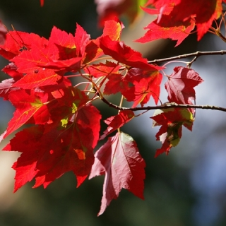The right red foliage of Acer rubrum