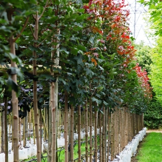 Acer platanoides Fairview on the barcham trees nursery