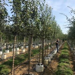Syringa peking Beijing Gold at barcham trees