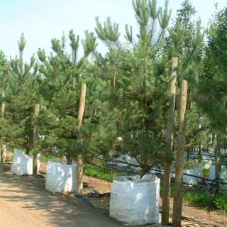 Pinus sylvestris at Barcham Trees