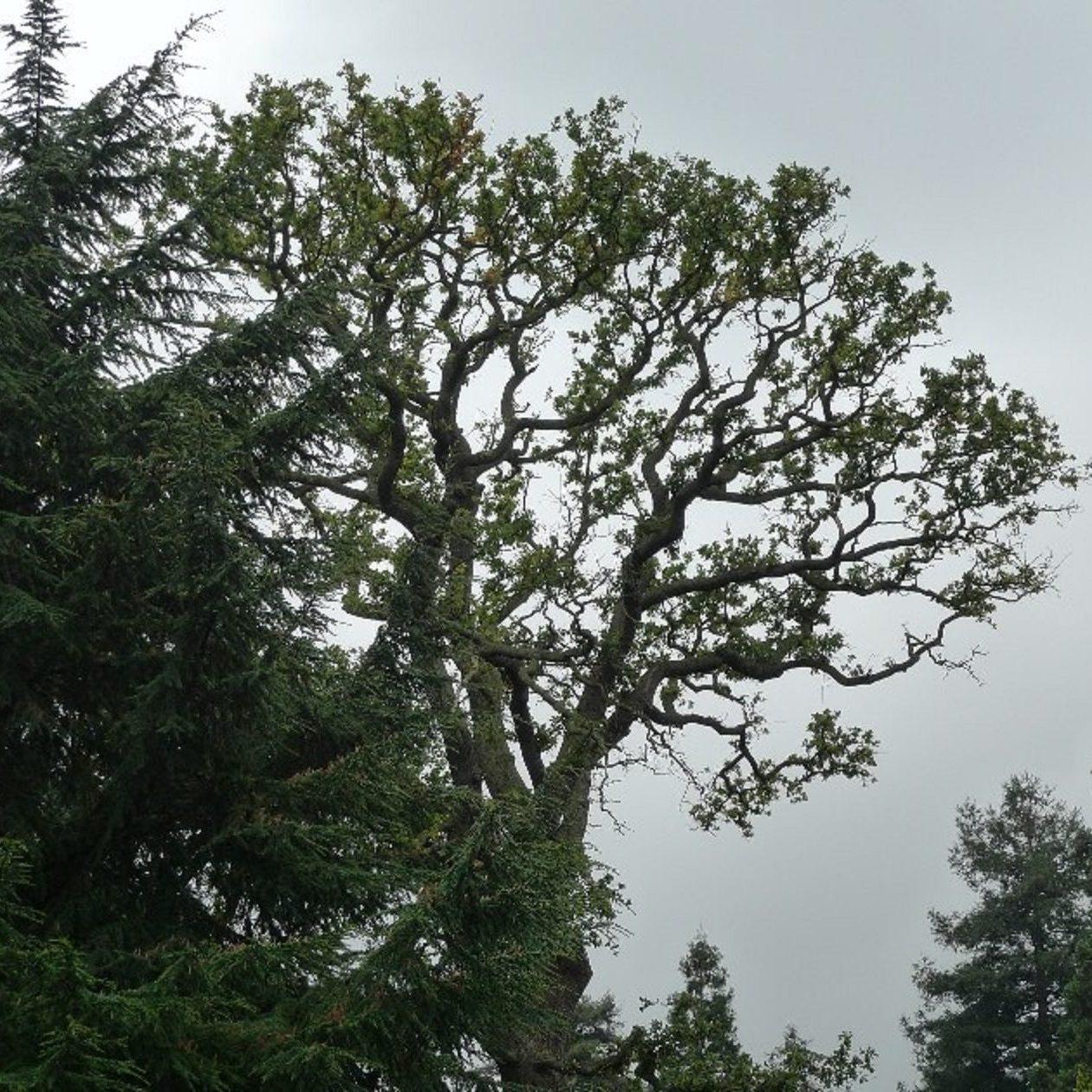 accute oak decline